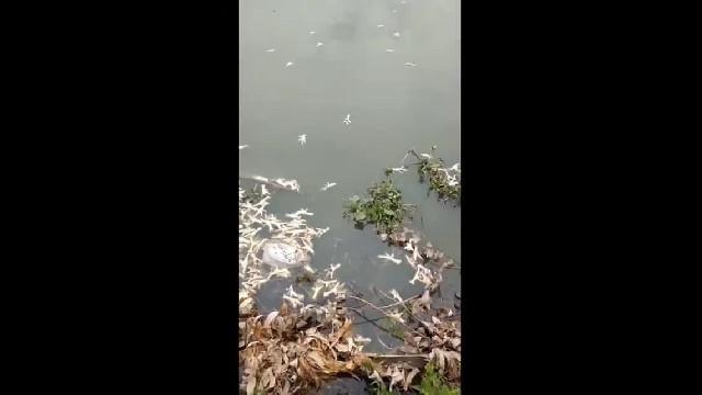 Chân gà thối trên sông Ba La (Hải Phòng)