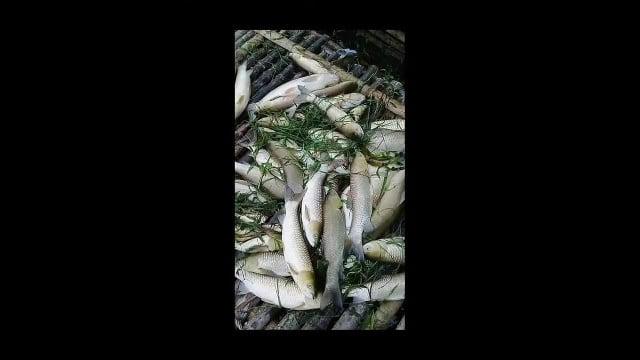 Cá chết hàng loạt tại khu vực sông Mã của huyện Bá Thước tỉnh Thanh Hoá