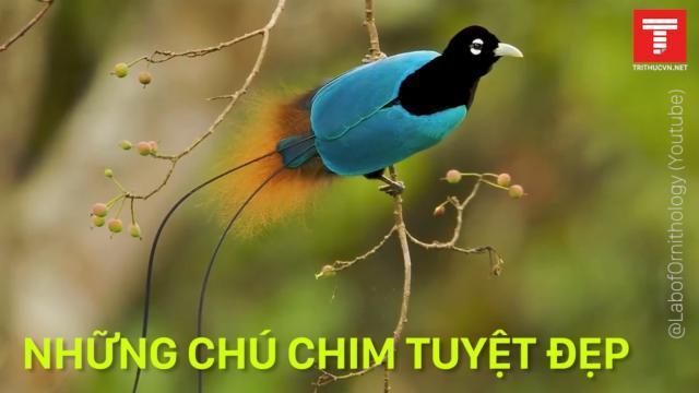Những loài chim đến từ thiên đường
