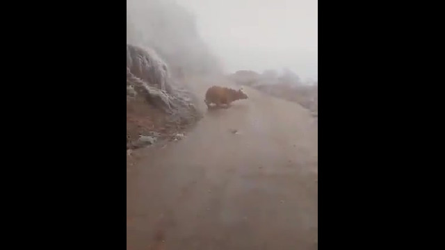 Gia súc rét cóng trên đỉnh Mẫu Sơn