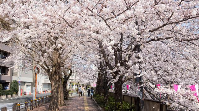 Cảnh tượng hoa anh đào đồng loạt nở rực rỡ ở Tokyo